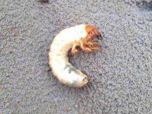 a closeup picture of a lawn pest chafer grub
